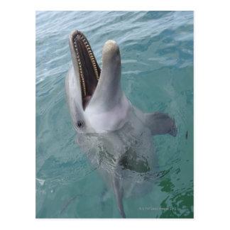Portrait of Common Bottlenose Dolphin, Caribbean Postcard