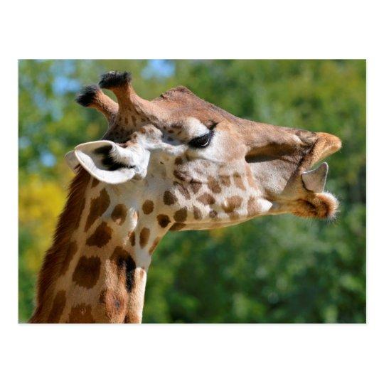 Portrait of giraffe postcard