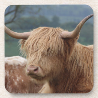 portrait of Highland Cattle Coaster
