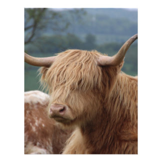 portrait of Highland Cattle Letterhead