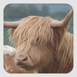 portrait of Highland Cattle Square Sticker