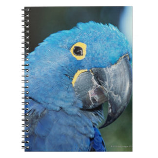 Portrait of hyacinth macaw parrot notebook