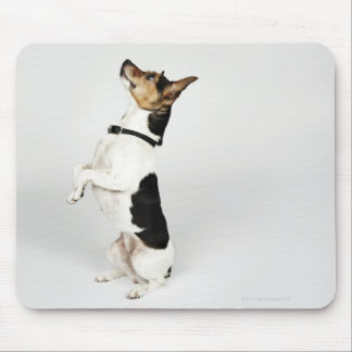 Portrait of Jack Russell dog sitting up on his Mouse Pad