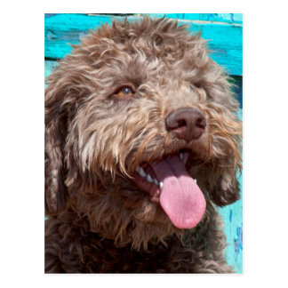 Portrait Of Lagotto Romagnolo In Front Of Blue Postcard