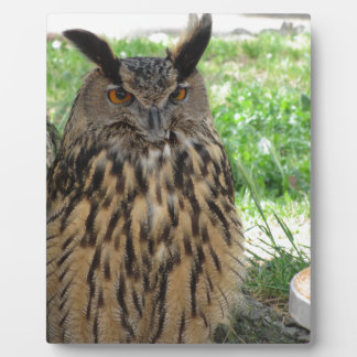 Portrait of long-eared owl . Asio otus, Strigidae Plaque