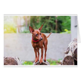 Portrait of red miniature pinscher dog card