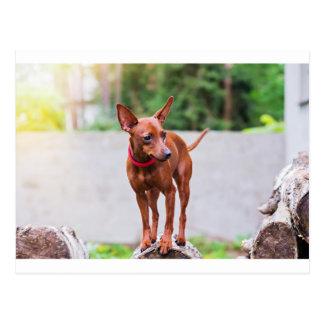 Portrait of red miniature pinscher dog postcard