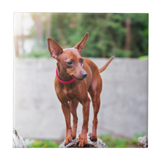 Portrait of red miniature pinscher dog tile