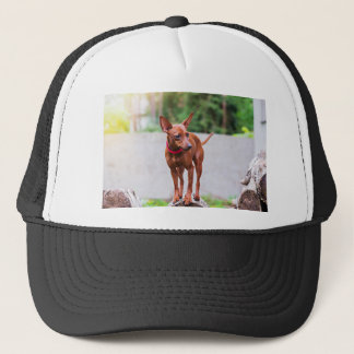 Portrait of red miniature pinscher dog trucker hat