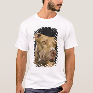 Portrait of red nose pitbull with black T-Shirt