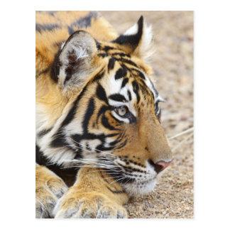 Portrait of Royal Bengal Tiger, Ranthambhor 3 Postcard
