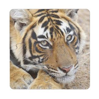 Portrait of Royal Bengal Tiger, Ranthambhor 4 Drink Coaster Puzzle