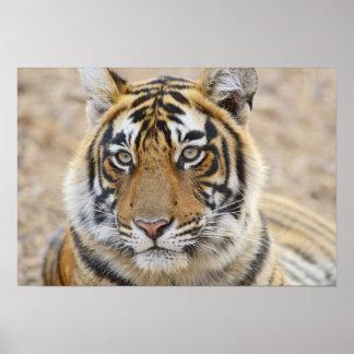 Portrait of Royal Bengal Tiger, Ranthambhor 6 Poster