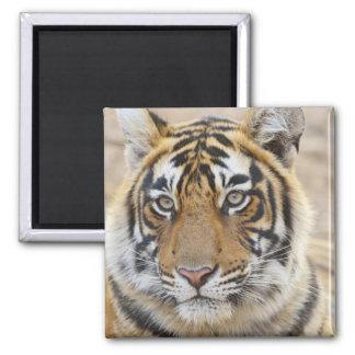 Portrait of Royal Bengal Tiger, Ranthambhor 6 Square Magnet