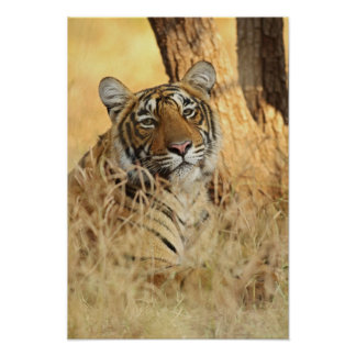Portrait of Royal Bengal Tiger, Ranthambhor Poster