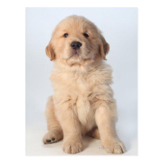 Portrait of six week old golden retriever puppy. postcard