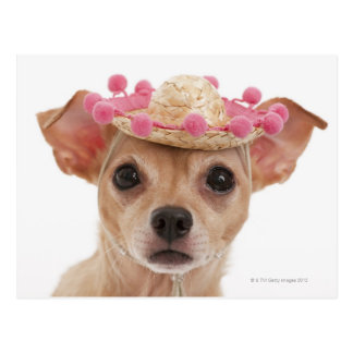 Portrait of small dog in sombrero postcard