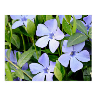 Portrait Of Springtime Periwinkle Flowers Postcard