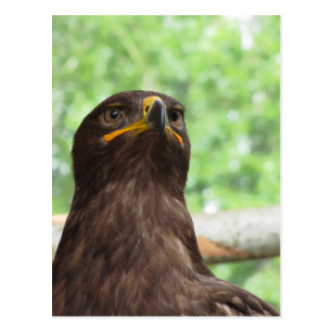 Portrait of steppe eagle postcard