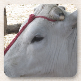 Portrait of the Chianina, italian breed of cattle Coaster