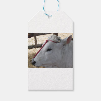 Portrait of the Chianina, italian breed of cattle Gift Tags
