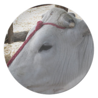 Portrait of the Chianina, italian breed of cattle Plate