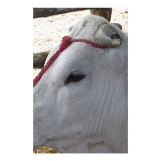 Portrait of the Chianina, italian breed of cattle Stationery