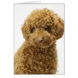 Portrait of Toy Poodle