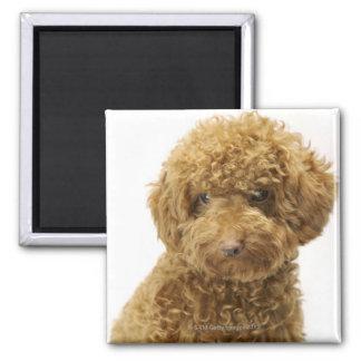 Portrait of Toy Poodle Magnet