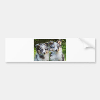 Portrait of two young sheltie dogs bumper sticker
