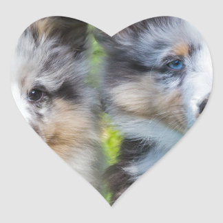 Portrait of two young sheltie dogs heart sticker