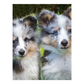 Portrait of two young sheltie dogs letterhead template
