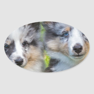Portrait of two young sheltie dogs oval sticker