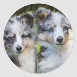 Portrait of two young sheltie dogs round sticker