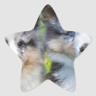 Portrait of two young sheltie dogs star sticker