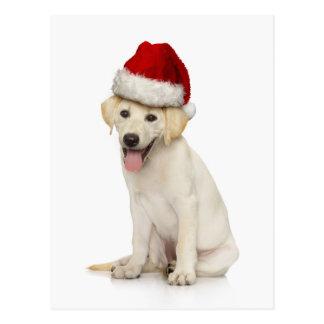 Portrait of white Labrador retriever Postcard