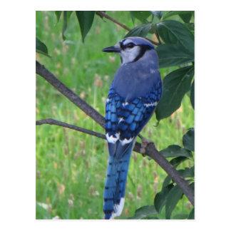 Posing Blue Jay Postcard