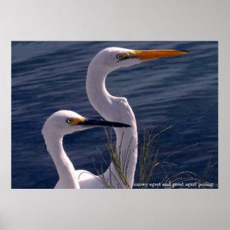 Posing Egrets Poster