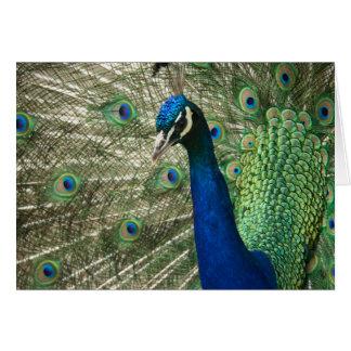Posing Peacock Card