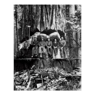 POSING with a GIANT REDWOOD c. 1889 Poster