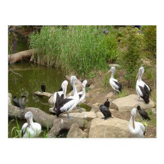 Possible Plotting Pelican Problems Postcard