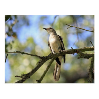 Post Card of Texas State Bird:  Mockingbird