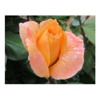 Post Card--Orange Rose With Rain Drops Postcard