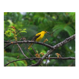 Post card photo of Black naped oriole in the rain.