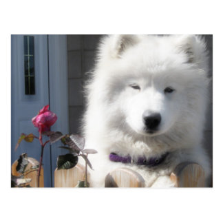 post card samoyed
