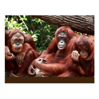 PostCard about Orangutans for Cindy Noodleberry