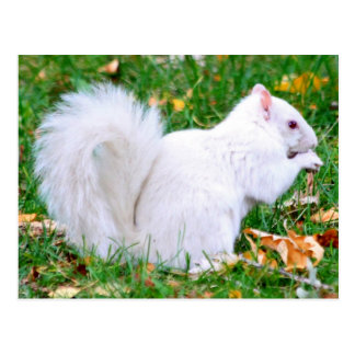 Postcard - Albino Squirrel