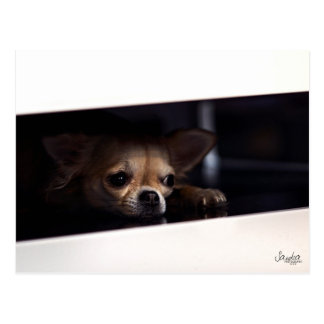 Postcard colors, dog chihuahua