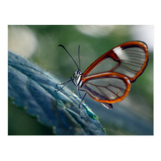 Postcard/Costa Rica Glasswing Butterfly Postcard