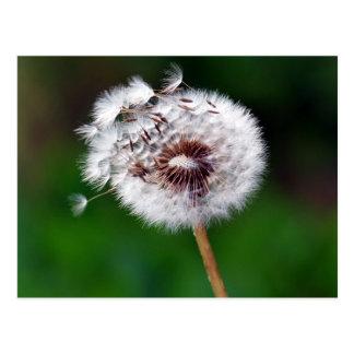 Postcard - Dandelion Gone To Seeds